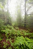 A fern covered forest floor on a foggy day.