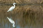 A White Morph Western Reef Heron Reflected In The Mangroves