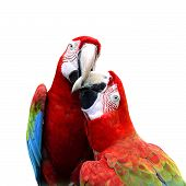 foto of green-winged macaw  - Best of kissing sweet macaw green - JPG