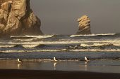 Gulls Along Ocean
