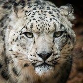 image of snow-leopard  - Frontal portrait of a Male Snow Leopard  - JPG