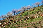 Goatherd on mountainside, Spain.