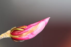 image of japanese magnolia  - violet magnolia bud ready to emerge over out of focus background - JPG