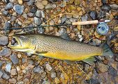 stock photo of fly rod  - Trophy fish - JPG