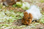 long haired white and brown guinea pig eating salad from ground