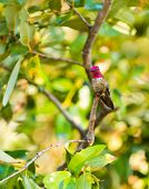 male Anna's Hummingbird sitting on a branch of a tree