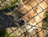 Dhole Biting The Fence