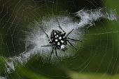 orb web spider in the urban parks
