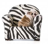 english bulldog puppy sitting on a chair on white background