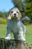 cute american cocker spaniel puppy standing on a wood stump