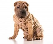 chinese shar pei sitting isolated on white background