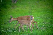 Roe deers in a garden