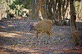 Komodo Deer