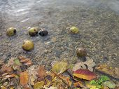 Crab Apples and Fall Leaves on the Water