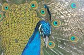 Blue Indian Peafowl