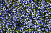 Carpet of Blue Flowers, Keukenhof, The Netherlands