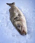 Freshly Bass Fish in ice