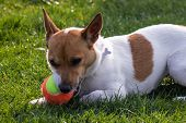 Little Dog Playing With A Colorful Tennis Ball