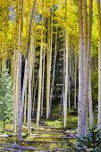Aspen Forest In Autumn