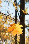 Fallen Maple Leaf On Twig In Autumn