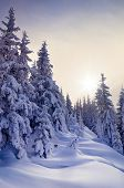 Winter forest covered with snow. New Year`s landscape. Fabulous trees in snowdrifts. Sunlight through the mist. Carpathian mountains, Ukraine, Europe