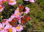 European peacock butterflies on asters