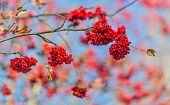 bright red rowan berries on branches