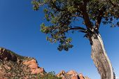 picture of juniper-tree  - A juniper tree in the desert, Sedona, AZ, USA.