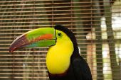 foto of toucan  - Toucan at Ocean World in the Dominican Republic - JPG