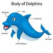 pic of dolphin  - Illustrator body of dolphins cartoon and education - JPG