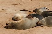 ������, ������: Cape Fur Seal Group Resting
