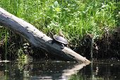 picture of testudo  - turtle crawled out of the river on a log to bask in the sunlight - JPG