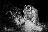 stock photo of nostril  - Tiger Sumatran animal - JPG