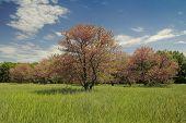 picture of judas  - Cercis siliquastrum or Judas tree in summer landscape - JPG