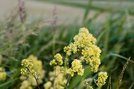 stock photo of yellow buds  - Closeup of a yellow budding and flowering Yellow meadow rue or Thalictrum flavum plant on a summer evening in its own habitat - JPG