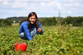 Beautiful woman eating a strawberry while gathering strawberries on a farm in Denmark.