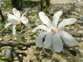 picture of japanese magnolia  - beautiful flowers of japanese magnolia - JPG
