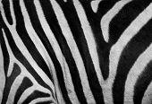 Постер, плакат: Zebra печати