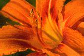 Orange Lily In Warm Evening Sun