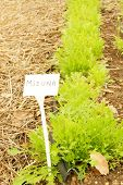 Mizuna Herb Vegetable Young Raw and Organic