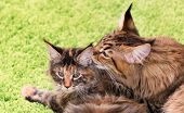 Mother cat licking little kittens face. Maine Coon black tabby cat with her tortoiseshell kitty. Cl poster