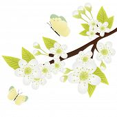 Vector illustration of apple-tree branch with flowers isolated on green