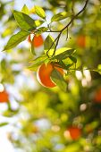 Ripe Orange On A Tree Close-Up. Shallow DOF.