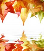 Red and yellow autumn leaves isolated on white reflects in water.