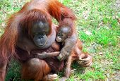 Mother and baby orangutang bonding on grass