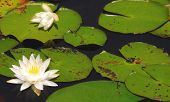 Pretty lily blooms in still pond
