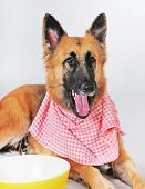 German shepherd by big bowl ready for dinner