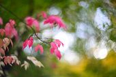 Autumn Pink Bush In Forest , Colorful Background Of Stunning Euonymus Alatus, Winged Spindle, Or Bur poster