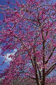 Violet Flower Tree (Cercis Siliquastrum)