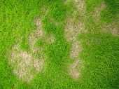Grass Texture. Grass Background. Patchy Grass, Lawn In Bad Condition And Need Maintaining, Pests And poster